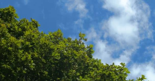 Velký zelený javorový strom s hustým listím pohybující se proti modrému nebi s mraky. Vyhledat Nízký úhel pohledu zdola v opadavém lese pozadí Uložit přírodní planetu koncepce