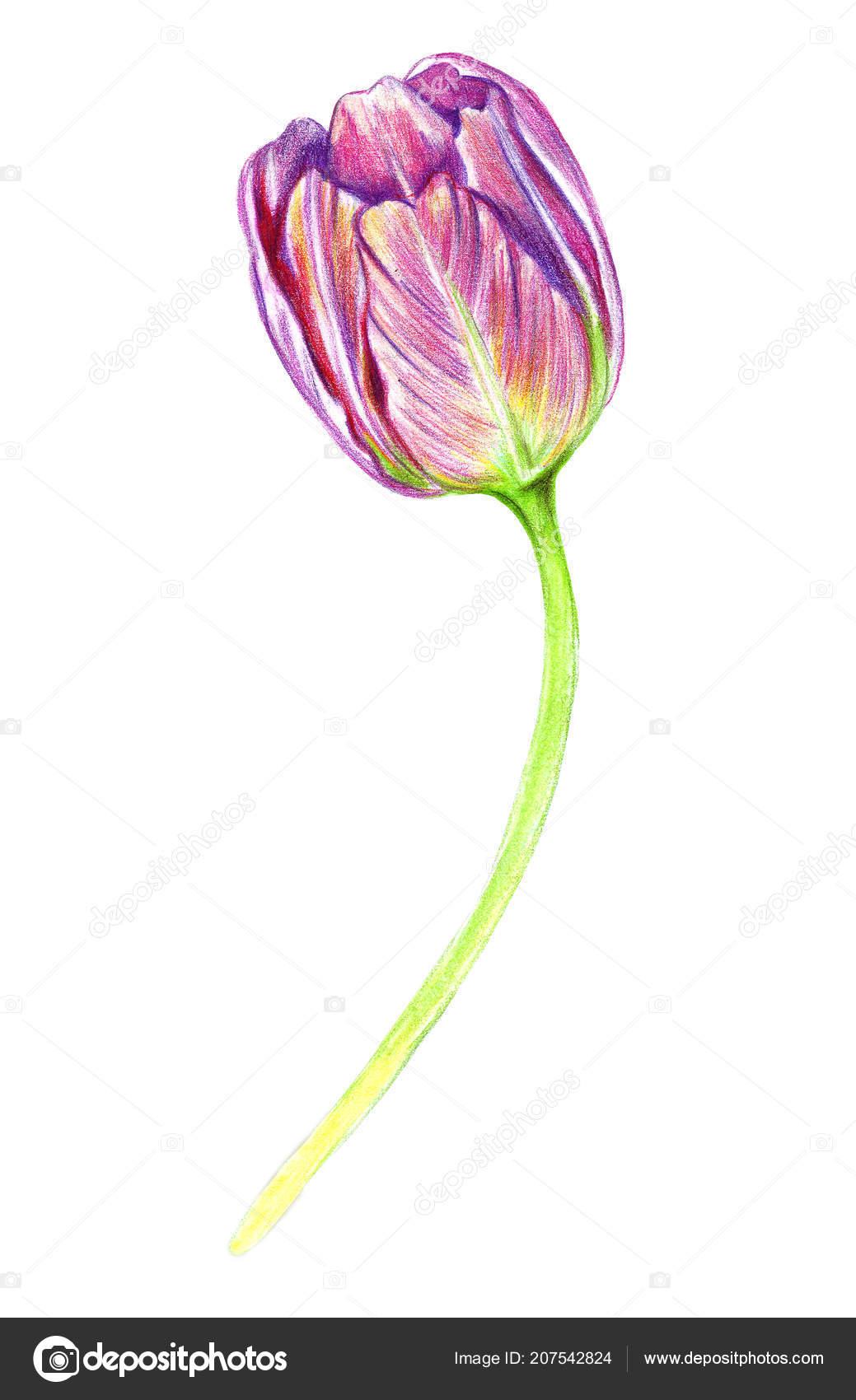 Main Dessin Dune Tulipe Réaliste Photographie Tnata2009 207542824
