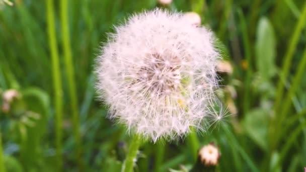 pitypang fölött zöld fű, napközben
