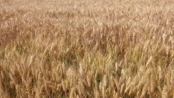 Pšenice v krásné pšeničné pole za jasného slunečného dne