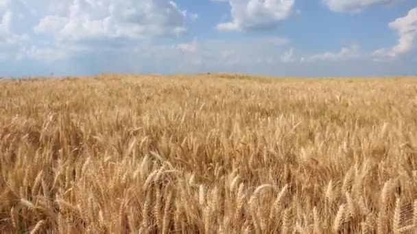 Wheat in a Beautiful Wheat field on a bright sunny day