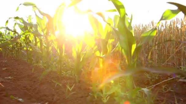 Řádky zralého obilí v kukuřičném poli za jasného slunečného dne