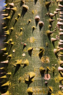 A close-up view of the bark of a young Ceiba (Ceiba pentandra in latin) tree.