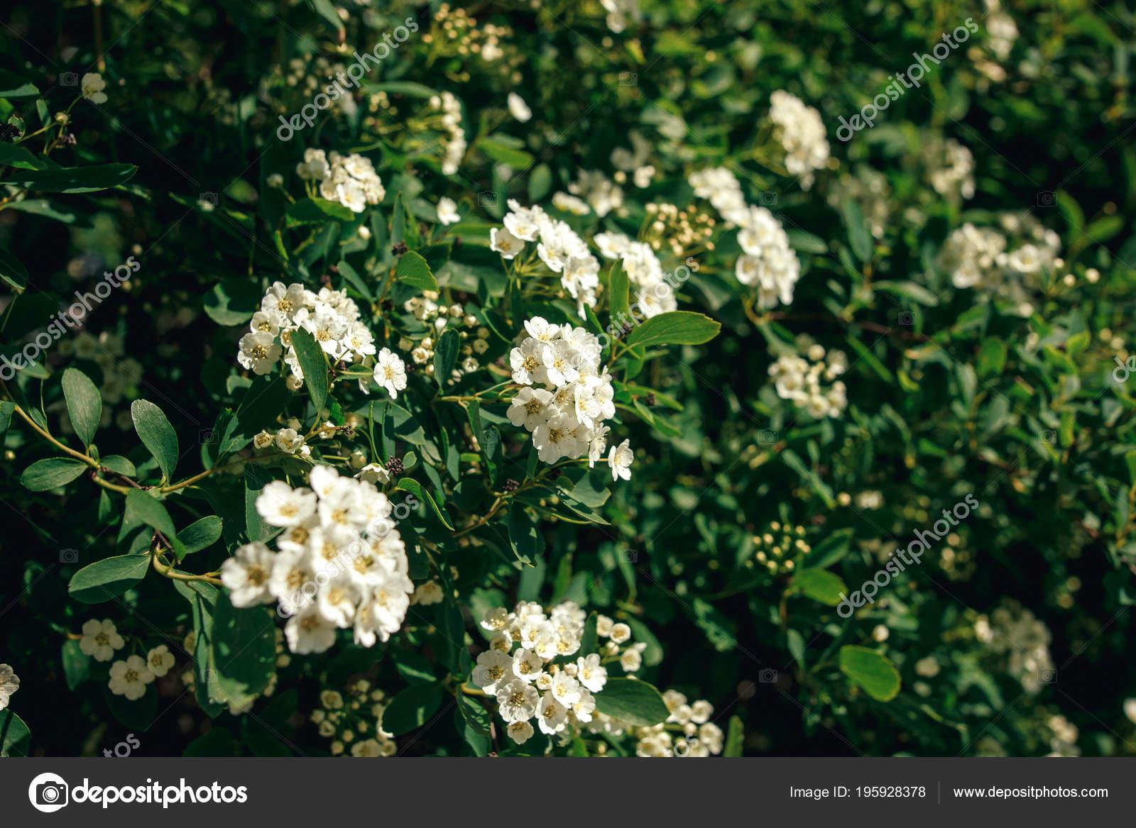 Beautiful Spirea White Flowers Bush Sunny Summer Garden Enjoying