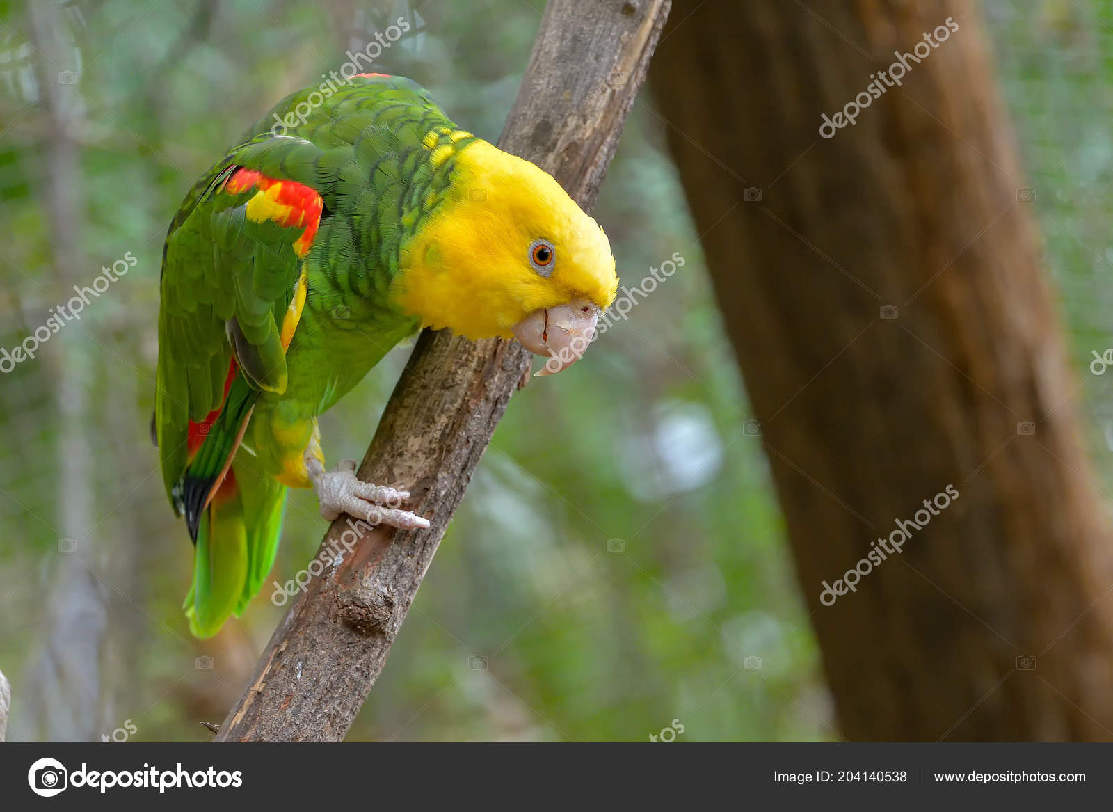 Close Yellow Headed Parrot Otherwise Known Yellow Headed