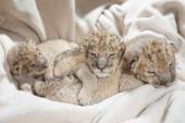 Fotografia Tre cuccioli di leoni svegli (Panthera leo), vecchio di due settimane