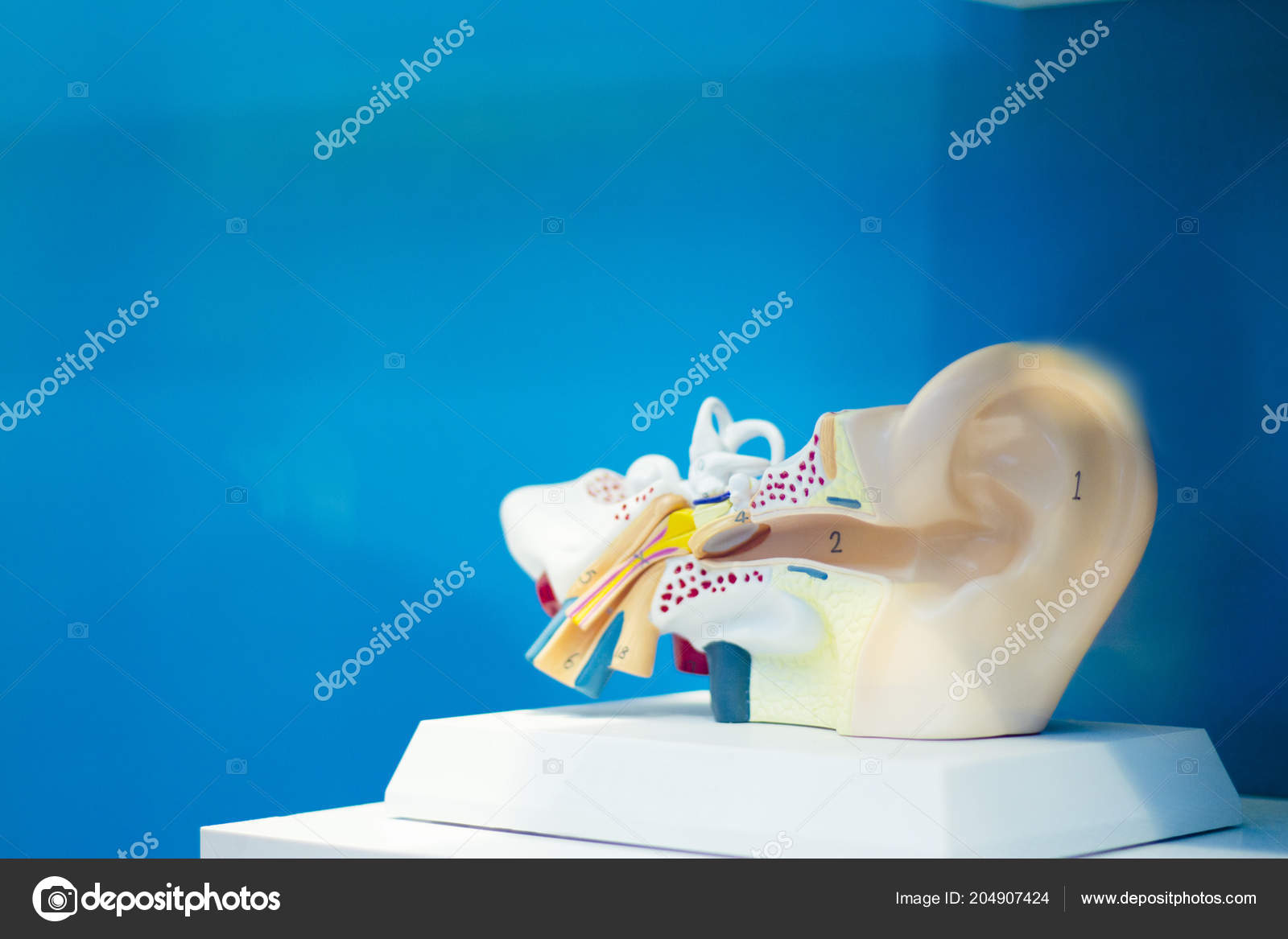 Anatomy Human Ear Internal Parts Form People Stock Photo
