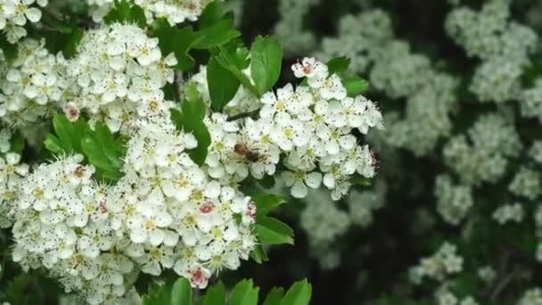 včela na bílých květinách na jarním stromě.