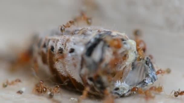 Kolonie červených mravenců rozcupovat a jíst brouk Closeup