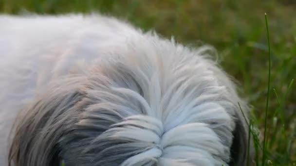 dog shih tzu. the dog gnaws at the bone.
