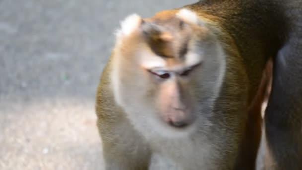 Nagy makákó majom közel videót