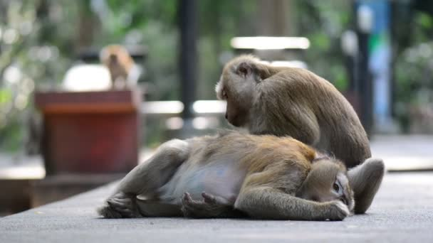 Macaque assisting other monkey to clean fleas from fur. Amazing animal behavior
