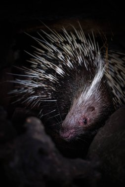 Porcupine in the cave hole on a black background
