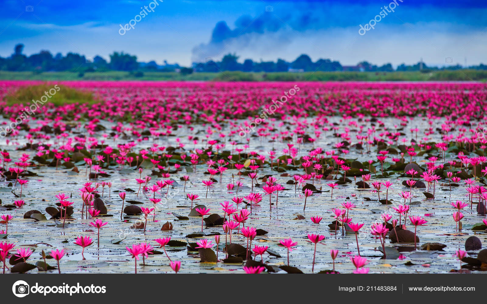 Sunshine Rising Lotus Flower Thailand Stock Photo Subinpumsom