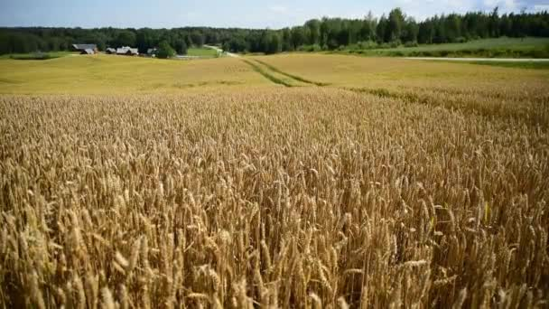 Wheat ears at golden field. Sunny summer day. Harvesting