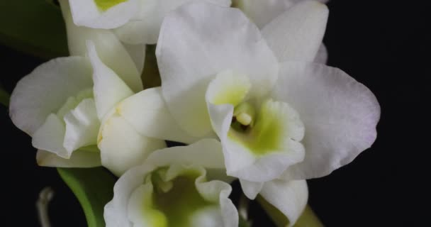 Orchid plant with white florescences and buds. White orchid flowers, on a black background.