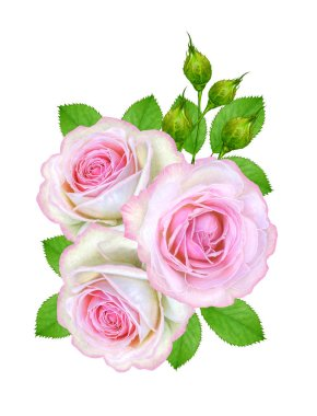 Flower composition. A bouquet of delicate pink roses, buds, green leaves. Isolated on white background.