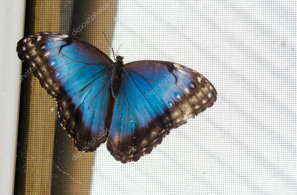 Common blue morpho butterfly (Morpho peleides) on a screen, with wings open.  Found across Mexico and Central America, it is distinguished by its brilliant black-tipped blue wings.