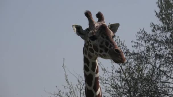 Jihoafrický žirafa na safari park