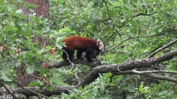 Red panda (Ailurus fulgens) on a tree