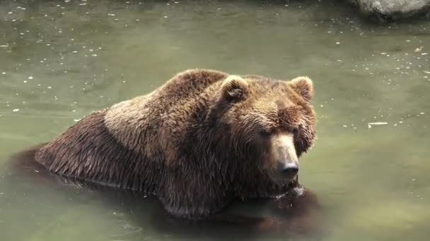 Brown bear in water. Portrait of brown bear (Ursus arctos beringianus). Kamchatka brown bear.