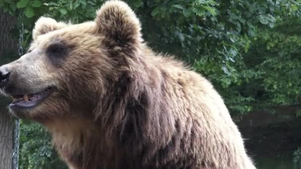Portrait of brown bear (Ursus arctos beringianus). Kamchatka brown bear.