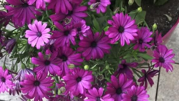 Virágzás mély lila osteospermum közelről