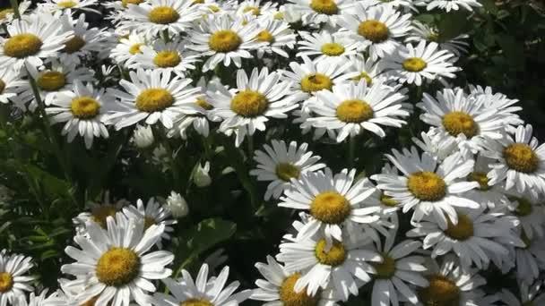 Kopretina maximální bílé chrysanthemum květiny známé také jako shasta daisy nebo stříbrná princezna