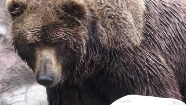 Medvěd hnědý ve vodě. Portrét medvěd hnědý (Ursus arctos beringianus). Medvěd kamčatský