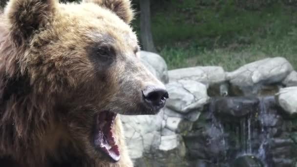 Portrét medvěd hnědý (Ursus arctos beringianus). Medvěd kamčatský.