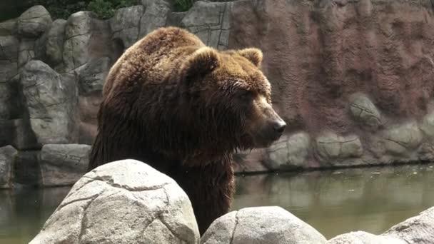 Barna medve vízben. Portré barnamedve (Ursus arctos beringianus). Kamcsatkai barna medve.