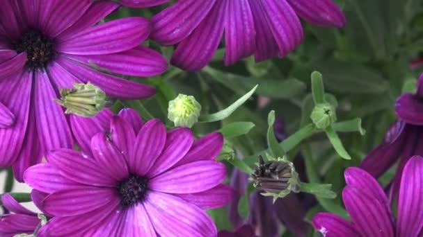 Flowering deep purple osteospermum close-up.