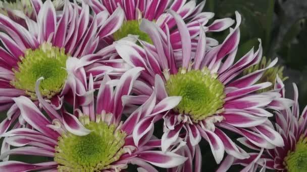 Květiny, květy chryzantémy v zahradě