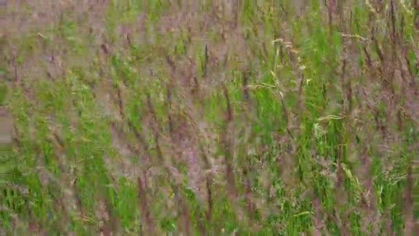 Kvetoucí trávy na louce. Vítr v trávě