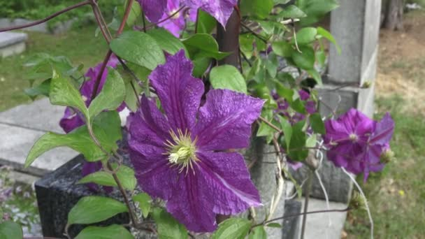 Clematis flower in bloom in spring