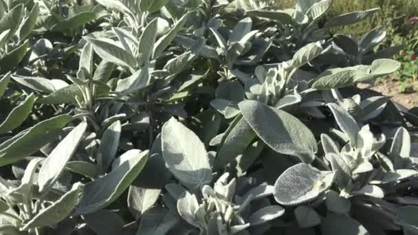 Common sage plant, aromatic herb and spice. Salvia officinalis in the garden. Spices and Herbs.(Salvia officinalis purpurescens )