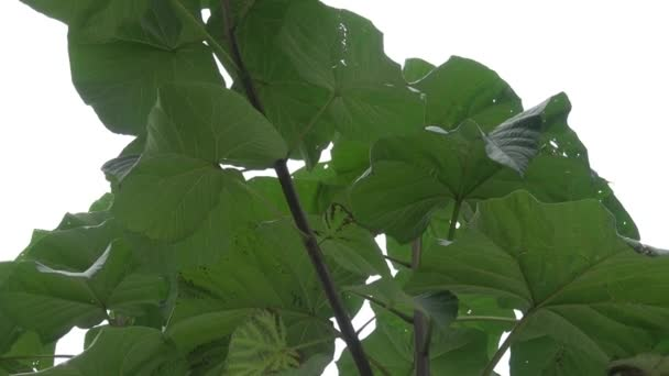 Tropical leaf, large foliage, giant leaf
