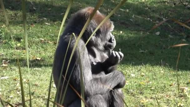 Portrait of a dominant gorilla. (Gorilla gorilla).