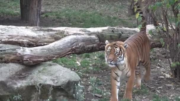 La tigre malese (Panthera tigris jacksoni)