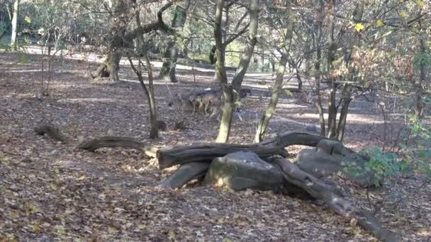 Evropská šedý Vlk (Canis lupus lupus) v lese