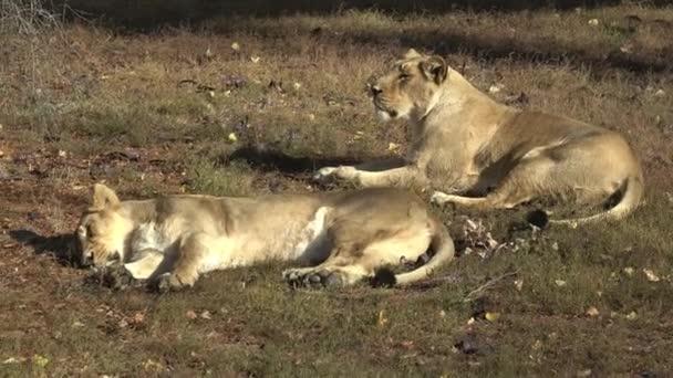 Dvě lvice ležící v trávě. Dvě lvice odpočívá po jejich odpolední siesta.