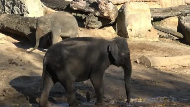 indiai elefánt (elephas maximus indicus)