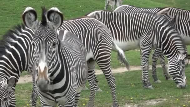 Grevy-Zebra (Equus grevyi) legelő