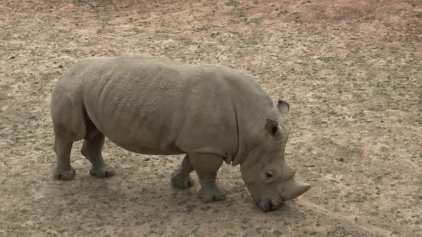Southern white rhinoceros (Ceratotherium simum simum). Wildlife animal. Critically endangered animal species.