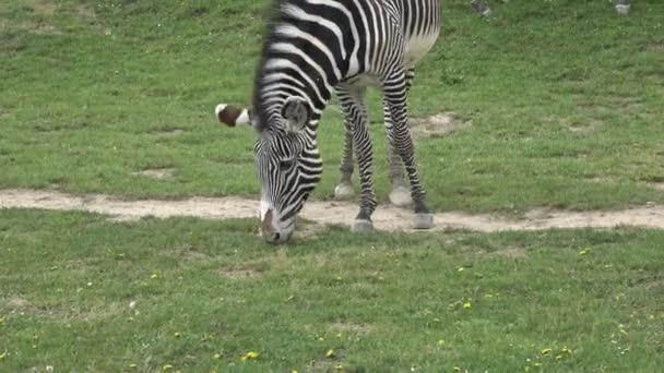 Paska grevy s Zebra (Equus grevyi)
