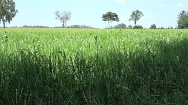 Blühende Gemüseerbse auf dem Feld. Blühende Hülsenfrüchte. Weiße Blumen von Erbsen. Junge Triebe und Blumen in einem Feld von grünen Erbsen. Anbau von grünen Erbsen. Pisum sativum.