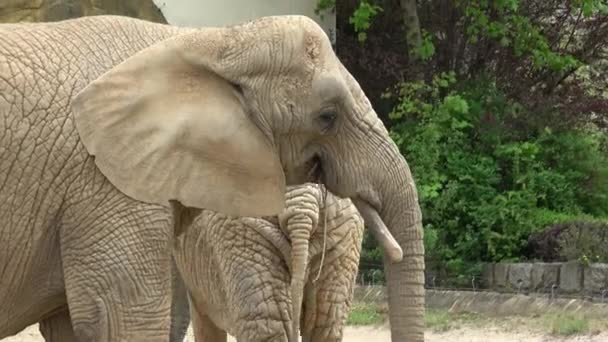 afrikai elefánt (loxodonta africana)