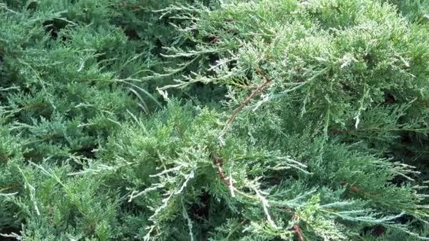Ágai egy örökzöld tűlevelű cserje. Ágai Thuja fák.