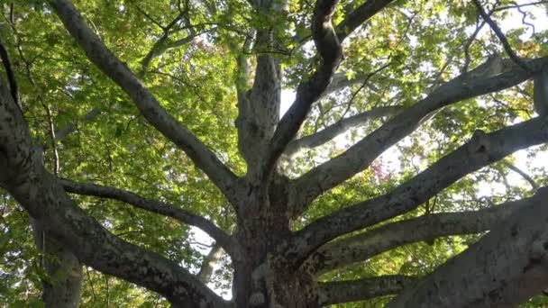 Große Platane mit grünem Blatt im Park
