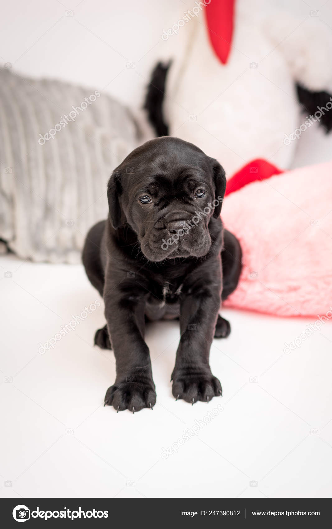 Puppy Dog Breed Cane Corso Sitting Position Black Color White Stock Photo C Bondarjuri232 Gmail Com 247390812
